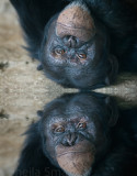 Chimp with reflection