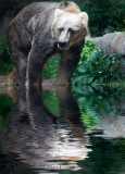 Kodiak in pool