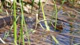 Northern Watersnake - Nerodia sipedon