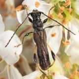 Callimoxys sanguinicollis