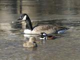 Hooded Merganser, Canada Goose, and Gadwall