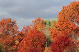 Oak Trees in the Fall