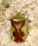 Red-Cross Shield Bug - Elasmostethus cruciatus