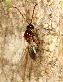 Wasps - Eucoilidae