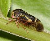 Ophiderma flava (male)