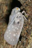 Flatid Planthoppers - Flatidae
