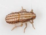 Stenocranus sp. (nymph)