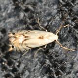 Phyllocnistis sp.