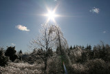 Icy Trees and Sun