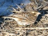 Ipswich Savannah Sparrow - Passerculus sandwichensis princeps