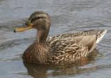 Mallard - Anas platyrhynchos (female)