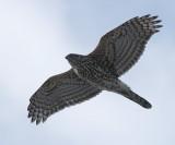Northern Goshawk - Accipiter gentilis (immature)