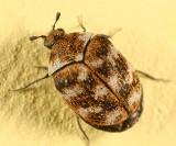 Carpet Beetles - Dermestidae