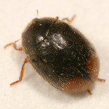 Scymnus fraternus