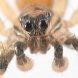 Trabeops aurantiacus