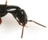 Neohypnus obscurus