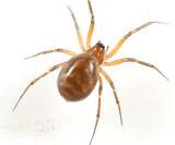 Lepthyphantes sp.
