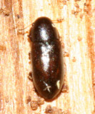 Orthocis punctatus