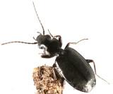 Syntomus americanus
