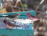 Purple Finch - Carpodacus purpureus (male and female)