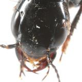 Anaquedius vernix