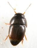 Featherwinged Beetles - Ptiliidae