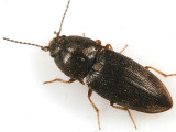 Hypnoidus abbreviatus