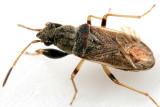 Pseudopachybrachius basalis