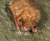 Eastern Pipistrelle Bat - Pipistrellus subflavus