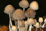 Coprinus sp.