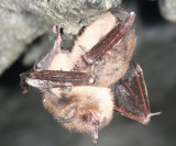 Little Brown Bat - Myotis lucifugus