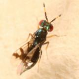 Eulophidae