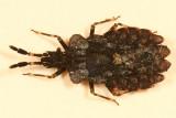 Aradus quadrilineatus