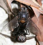 Leschenaultia sp.