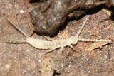 Campodeidae