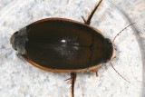 Vertical Diving Beetle - Dytiscus verticalis
