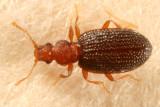 Minute Brown Scavenger Beetles - Latridiidae