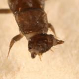 Lycidae larva