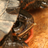 Painted Turtle - Chrysemys picta (Side view of the egg tooth)
