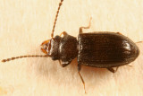 Charaphloeus convexulus (female)