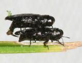 Metallic Wood-boring Beetles - Genus Taphrocerus