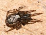 Zygiella nearctica