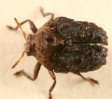 Neochlamisus sp.