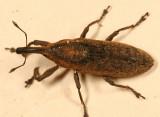 Lixus mucidus