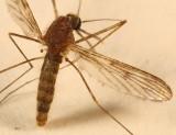 North American Malaria Mosquito - Anopheles quadrimaculatus
