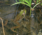 Green Frog - Lithobates clamitans