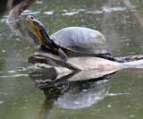 Blandings Turtle - Emydoidea blandingi