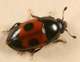 Glischrochilus sanguinolentus