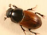 Aphodius rubripennis