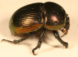 Geotrupes splendidus